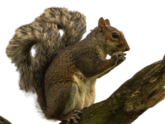 Displacer Squirrel